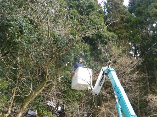 樫の木の剪定のご依頼をいただきました。