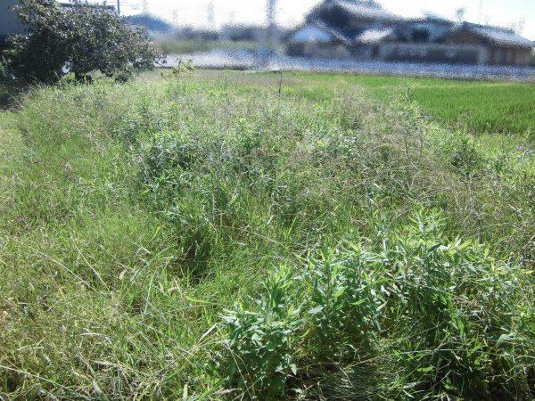 田の畦草の草刈りのご依頼をいただきました。