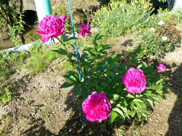 芍薬とバラが綺麗に咲きました