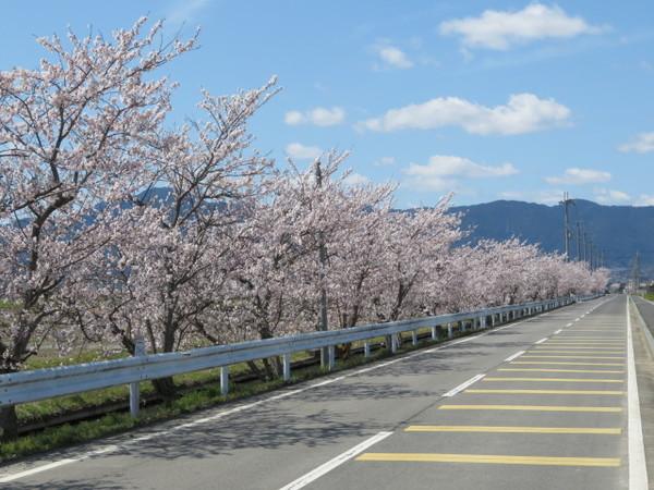 会社の近くにも綺麗な桜並木がありました。